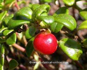 Bearberry fruit and leaves