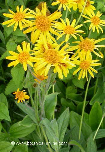 Photo of arnica plant