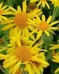 Photo of arnica flowers