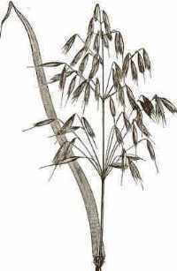 Illustration of an oat spike.