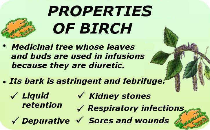 propiedades medicinales del abedul planta medicinal