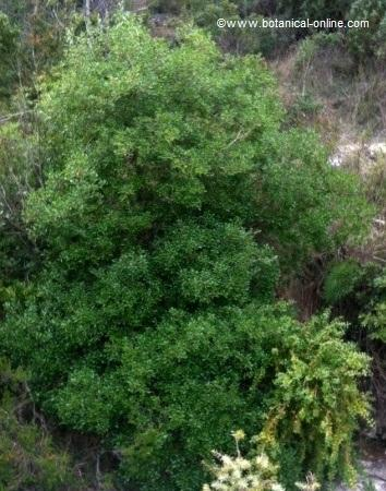 General appearance of a boxwood
