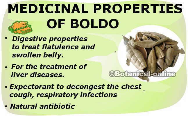 main medicinal properties of boldo