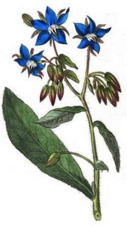 borraja botanical