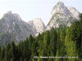 fir forest in the Austrian Alps