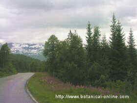 conifers forest in Scandinavia