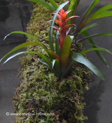 Bromeliad on a log