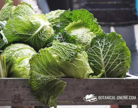 Photo of some cabbages