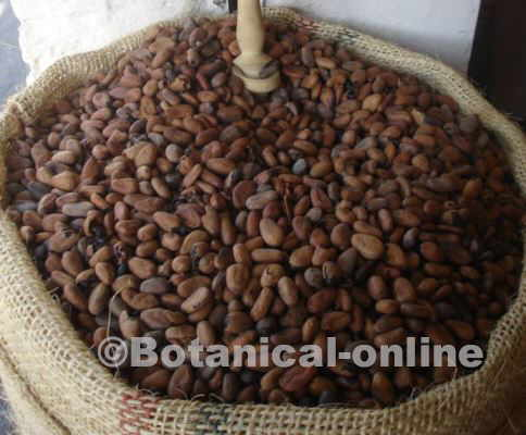 pure cocoa beans, very rich in oxalates