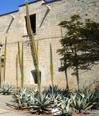 cactus jardineras oaxaca