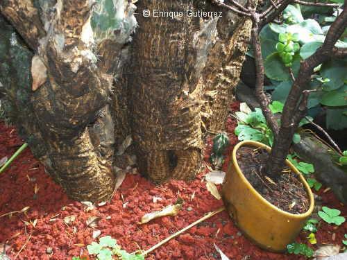Cactus stem