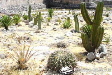cacti in a dry place in Oaxaca