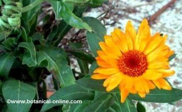 calendula officinalis or pot marigold