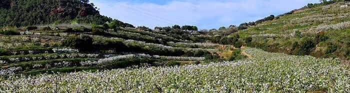 campo de cerezos