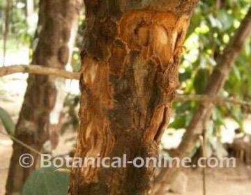 cinnamon tree bark