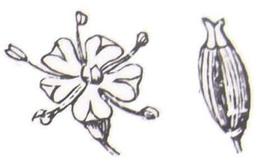 An enlarged detail of the flower and the fruit of caraway