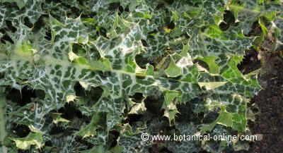 Detail of a leaf of Silybum marianum