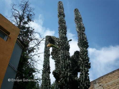 Cereus peruvianus mosntuosus