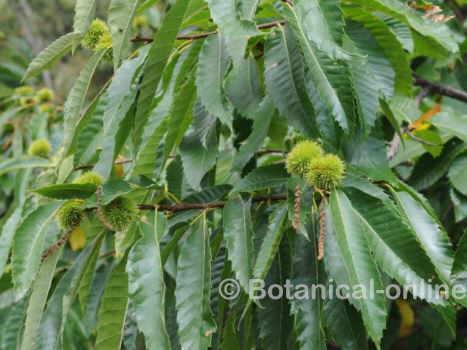 hojas y frutos del castaño