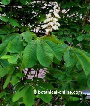 Horse chestnust branch with leaves and flowers