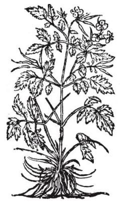 Greater celandine chelidonium majus c