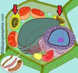 celula vegetal con cloroplastos señDrawing of plant cell with chloroplasts