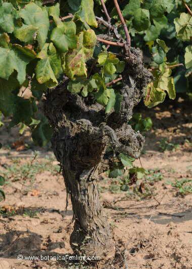 cultivated grape vine