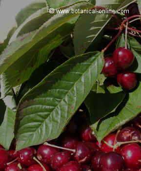Cherries with leaves and fruits