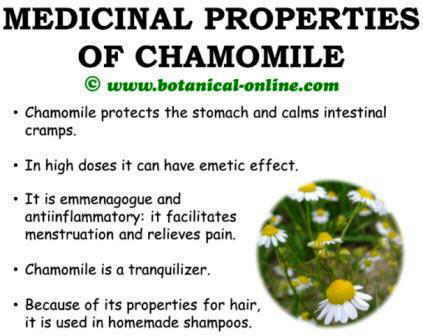 Medicinal properties of chamomile, benefits and curative