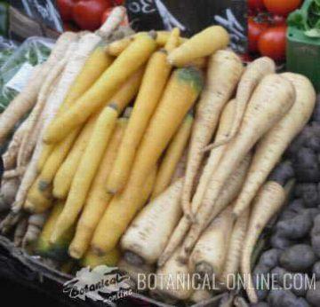 yellow parsnip carrot