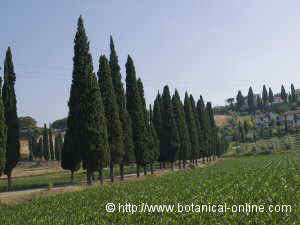 Cypresses along a pathway in Toscana