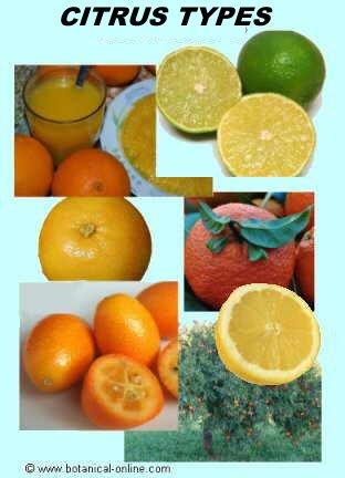 Citrus types