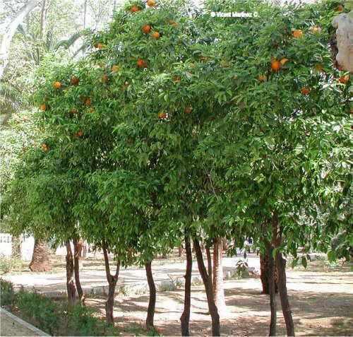 Citrus aurantium tree aspect