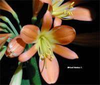 Clivia miniata ( Fire lily )