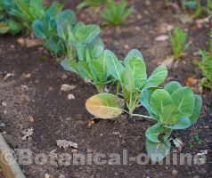 plantas cultivadas en huerto