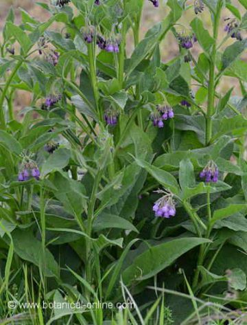 comfrey plant with flowers