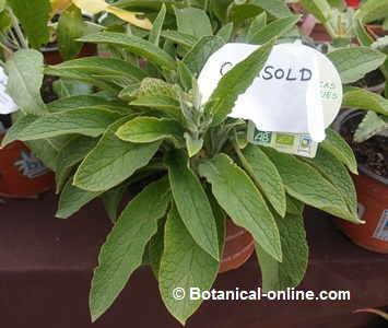 comfrey plant in a garden store