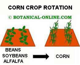 Crop rotation of maize with beans, soybeans or alfalfa