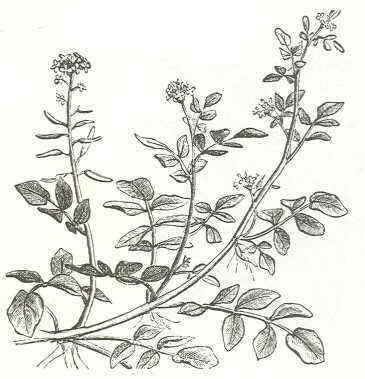 watercress drawing