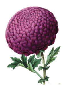 Drawing of chrysanthemum