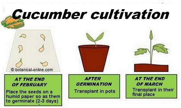Cultivation and care of cucumber, planting cucumis sativus