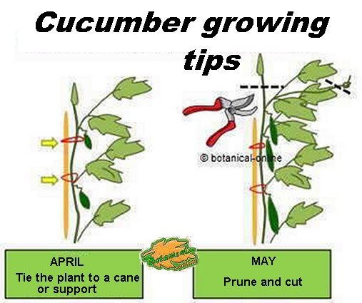 cucumber pruning and guiding tips