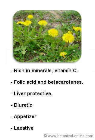 Dandelion properties