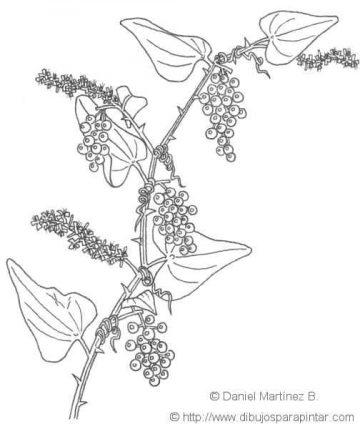 Illustration of sarsaparilla