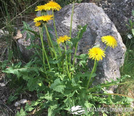 dandelion for cellulite