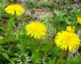 dandelion for your liver