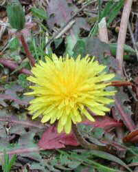 Dandelion leaves to remove fats