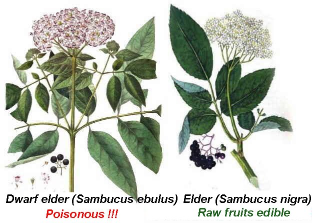 Botanical differences between dwarf elder and elder
