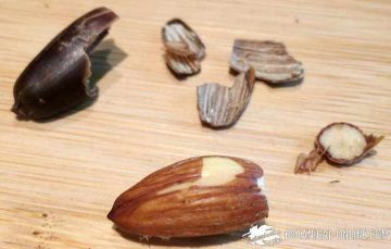 Opened acorn
