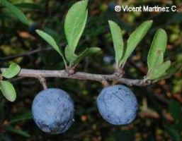 Sloe fruits